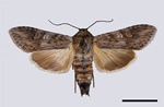 Scarce Wormwood (Cucullia artemisiae)